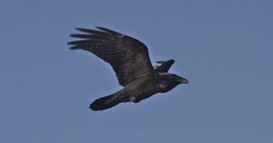 Ravens fed Elijah